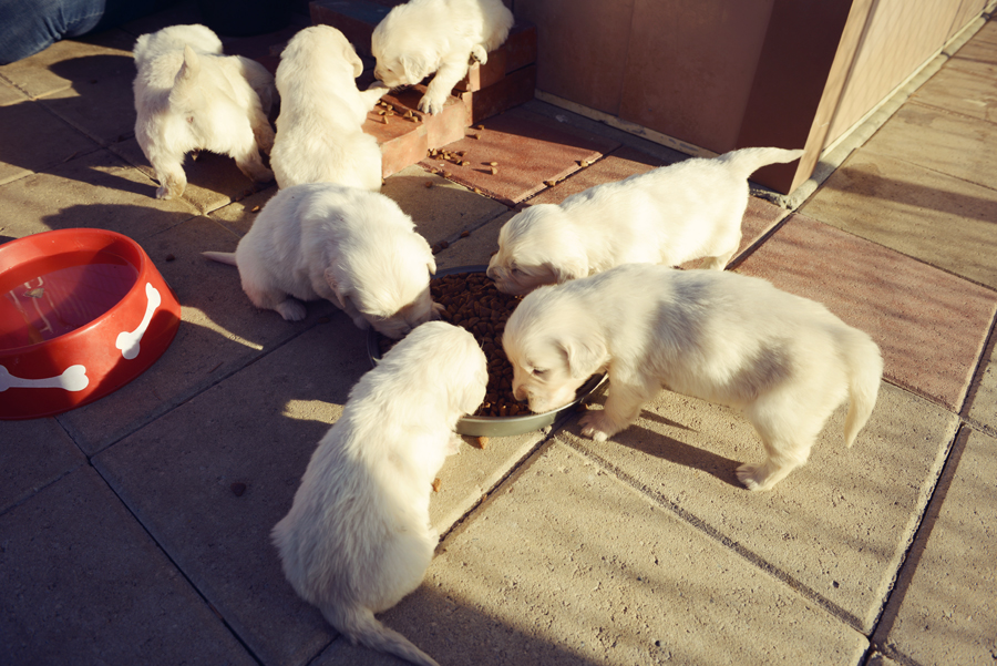 feeding puppies for first time